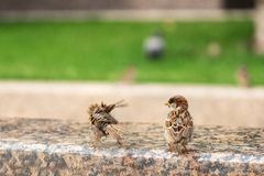 Young sparrows frolic in summer stock photography