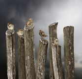 5 young sparrows sitting on an old fence Stock Image