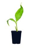 Young spathiphyllum plant Stock Photography