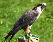 Young specimen of Peregrine Falcon on a trestle Stock Images