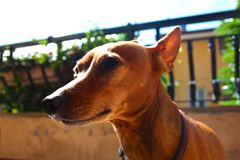 Young specimen puppy dog ​​breed. pet in the terrace of the house where he lives proud. female zwerg pinscher red or brown royalty free stock image