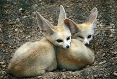 Young specimens of fennec Fox with long ears Stock Image