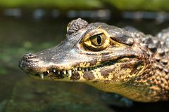 Free Young Spectacled Caiman Royalty Free Stock Image - 48520516