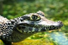 Young Spectacled Caiman Royalty Free Stock Images