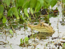 Young Spectacled Caiman showing his head Royalty Free Stock Photography