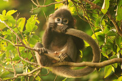 Young Spectacled langur sitting in a tree, Ang Thong National Ma royalty free stock image