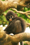 Young Spectacled langur sitting in a tree, Ang Thong National Ma Royalty Free Stock Photos