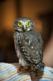 Young Spectacled Owl Stock Photos