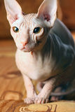 Young sphinx kitten Royalty Free Stock Images