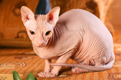 Young sphinx kitten Stock Image