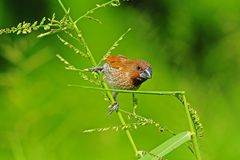 Young spice finch in the park Stock Photo