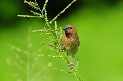 Young spice finch in the park Stock Images