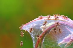 Young spiders on the web Royalty Free Stock Photo