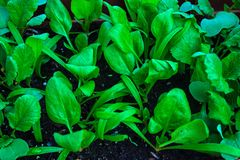 Young spinach Spinacia oleracea and radish seedlings Raphanus raphanistrum with bright green leaves Royalty Free Stock Images