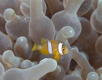 Young Spine-cheek Anemonefish. Macro image of a tiny Spine-cheek anemonefish in anemone host royalty free stock photos