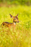 Young spoted deer Royalty Free Stock Photography