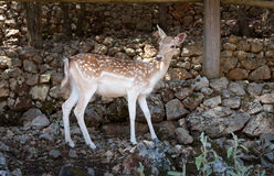 Young spotted deer Royalty Free Stock Photography