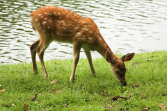 Young spotted deer ate some grass Royalty Free Stock Photography