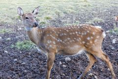 A young spotted deer close up Stock Photography
