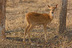 Young Spotted Deer in the Forest Stock Photos