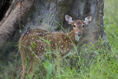Young spotted deer in Kanha National Park Stock Images