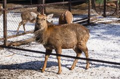 Dappled deer in zoo royalty free stock images