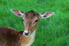 Young spotted fallow deer Stock Images