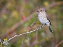 Spotted flycatcher sitting on branch stock photography