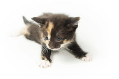 Young spotted funny kitten Stock Photography