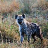 Young Spotted hyena. The spotted hyena (Crocuta crocuta) also known as laughing hyena, is a carnivorous mammal of the family Hyaenidae, of which it is the Royalty Free Stock Image