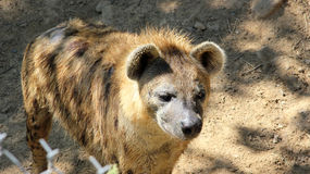 Young Spotted Hyena Royalty Free Stock Photography