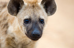 Young Spotted Hyena close up Head Shot, Kruger National Park, South Africa Royalty Free Stock Photos