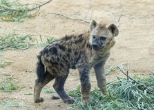 Young Spotted Hyena cub Royalty Free Stock Image