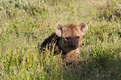 Young spotted hyena hiding in the grass Royalty Free Stock Photo