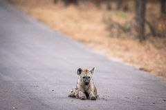Young Spotted hyena laying in the road in Kruger. Royalty Free Stock Photo