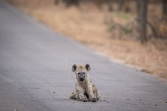 Young Spotted hyena laying in the road in Kruger. Royalty Free Stock Image