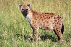 Young spotted hyena at the masai mara Royalty Free Stock Image