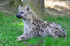 Young spotted hyena Royalty Free Stock Images