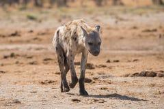 Young spotted hyena portrait. Young Spotted Hyena (Crocuta crocuta) walking towards camera, Botswana, 2015 stock photos