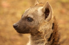 Young spotted hyena. Portrait of young spotted hyena in Kruger National Park, South Africa Royalty Free Stock Image