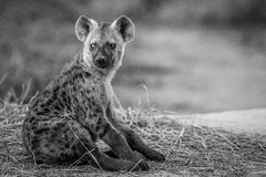 Young Spotted hyena sitting down. Stock Images