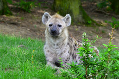 Young spotted hyena Stock Photos
