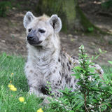 Young spotted hyena Royalty Free Stock Photo