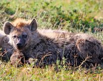 A young spotted hyena taking a rest on the african savannah in the masai mara Royalty Free Stock Images