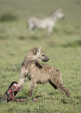 A young Spotted Hyena with a wildebeest skull, Tanzania Stock Images