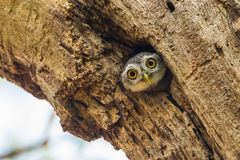 Young Spotted owlet Royalty Free Stock Photography