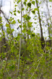 Young sprigs of poplar Stock Photo