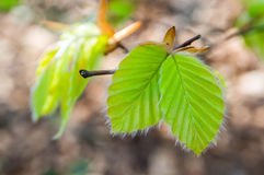 Young spring beech leafs Royalty Free Stock Photos