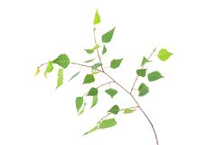 Young spring birch leaves on the branch isolated Royalty Free Stock Photo