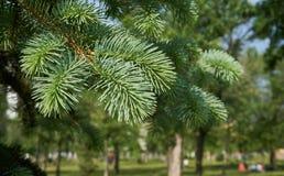 Young spring branches fir tree stock photos